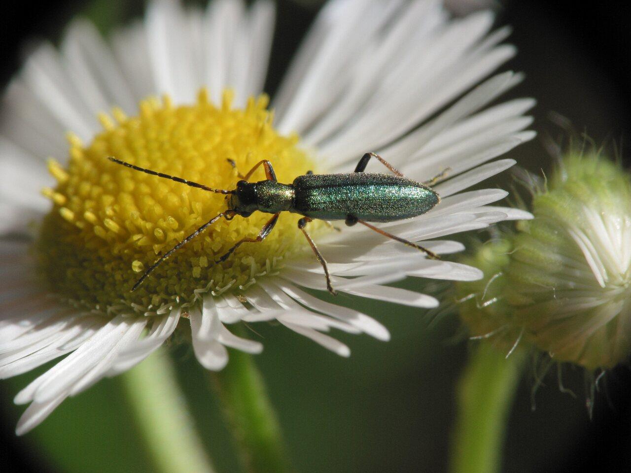 Chrysanthia-nigricornis-3216.jpg