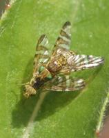 Chaetostomella cylindrica mating · margasparnė poruojasi