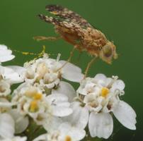 Oxyna flavipennis · margasparnė