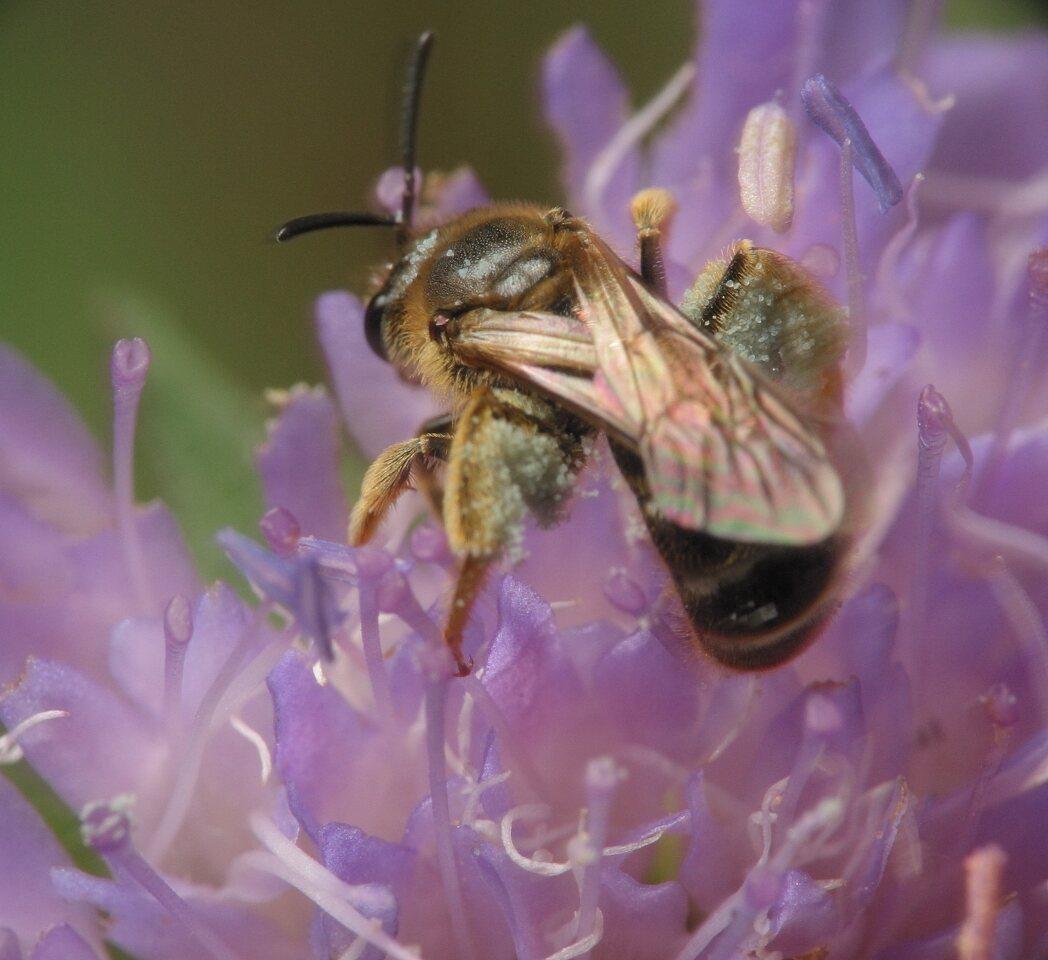 Apidae-3264.jpg