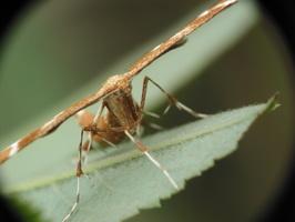 Cnaemidophorus rhododactylus · erškėtinis pirštasparnis