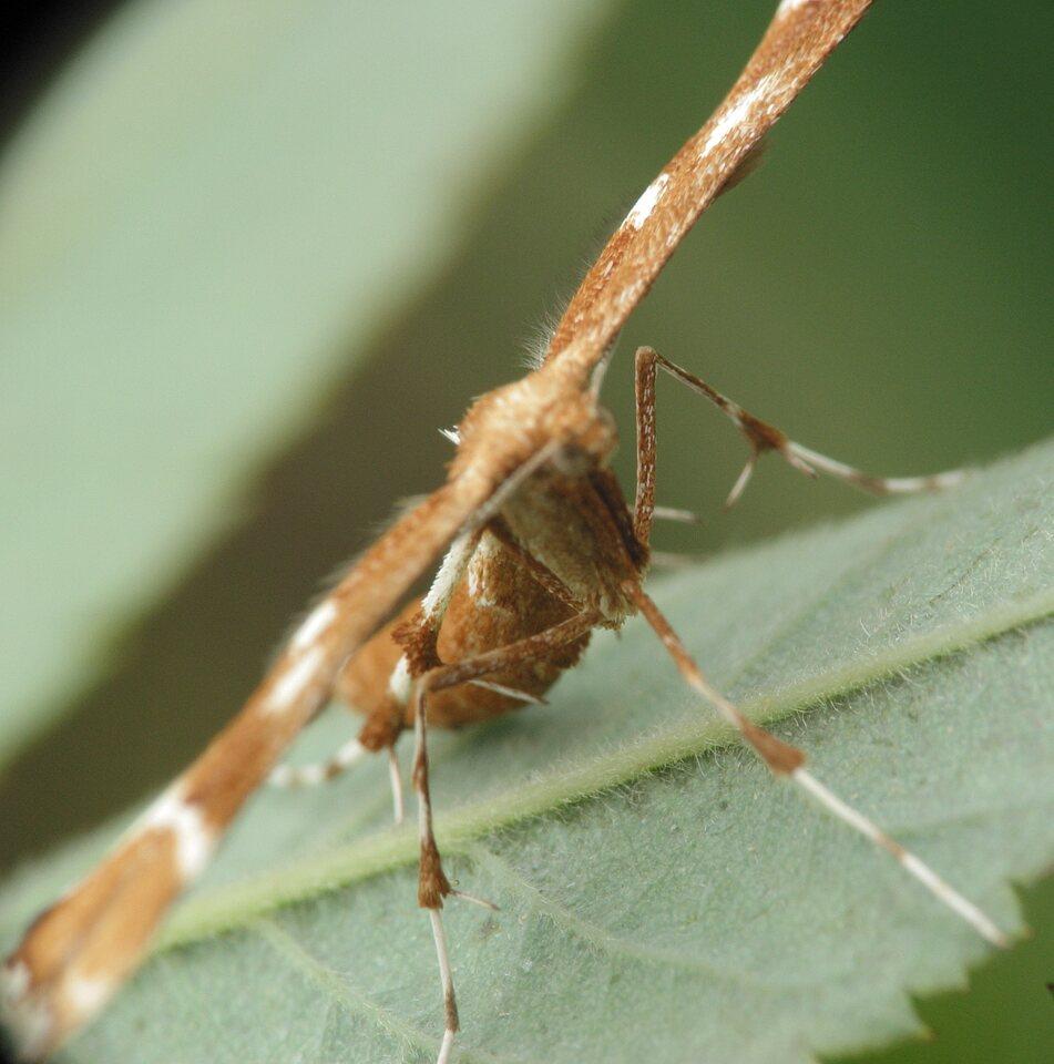 Cnaemidophorus-rhododactylus-3287.jpg