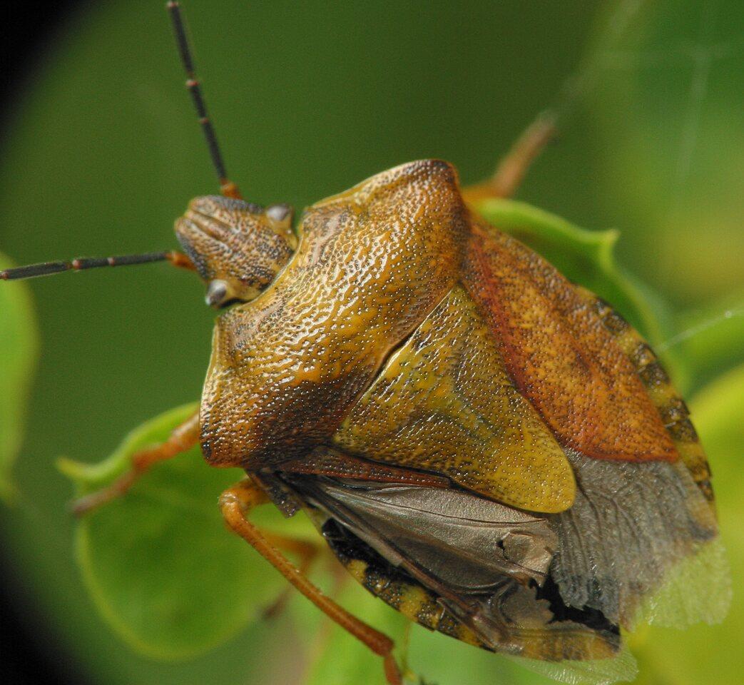 Carpocoris-pudicus-3298.jpg