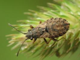 Nithecus jacobaeae · žilinė dirvablakė