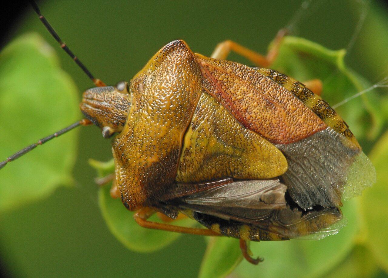 Carpocoris-pudicus-3299.jpg