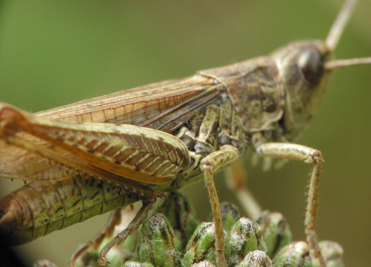 Acrididae-3323.jpg