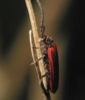 Pyropterus nigroruber · žiedvabalis