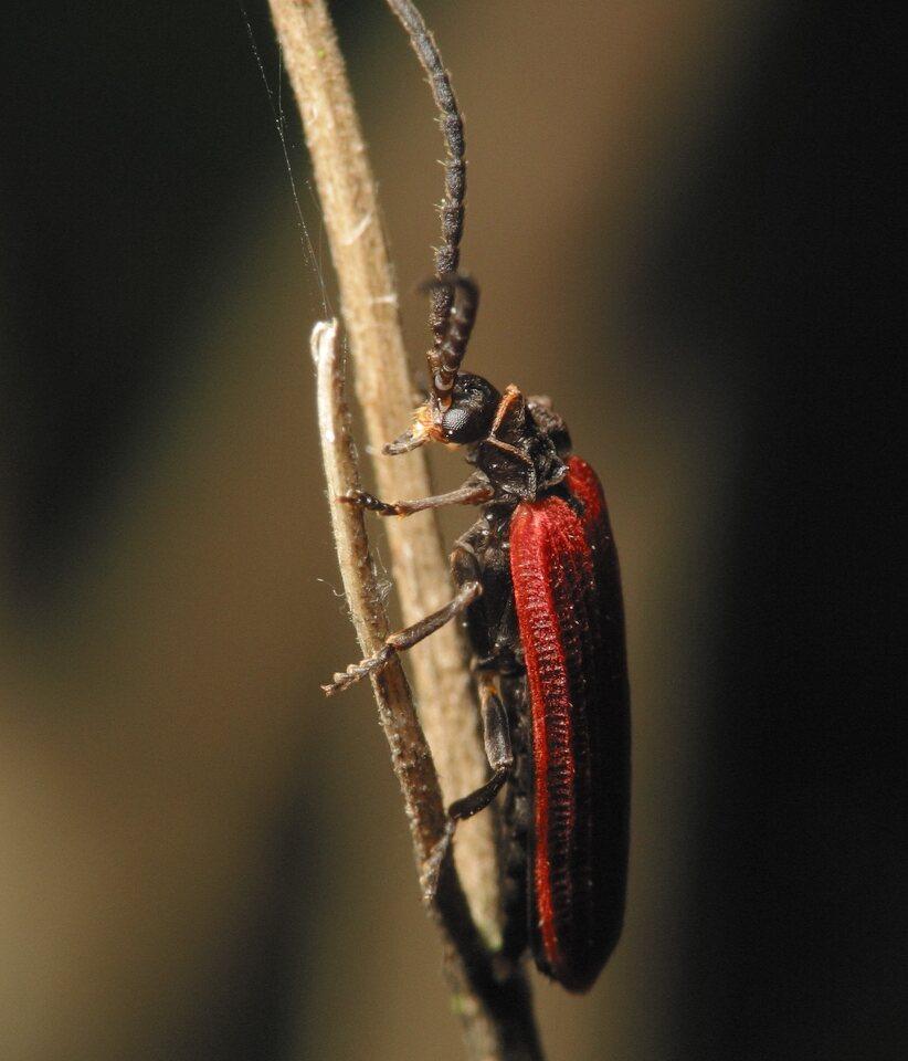 Pyropterus-nigroruber-3345.jpg
