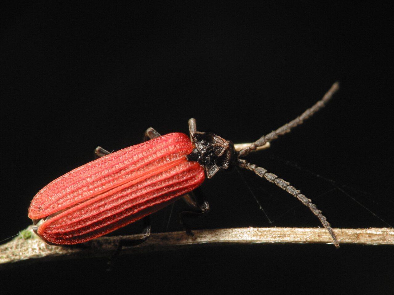 Pyropterus-nigroruber-3346.jpg