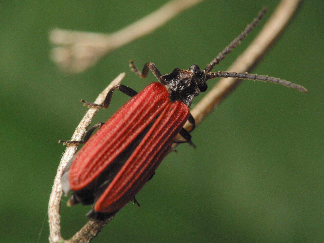 Pyropterus-nigroruber-3349.jpg