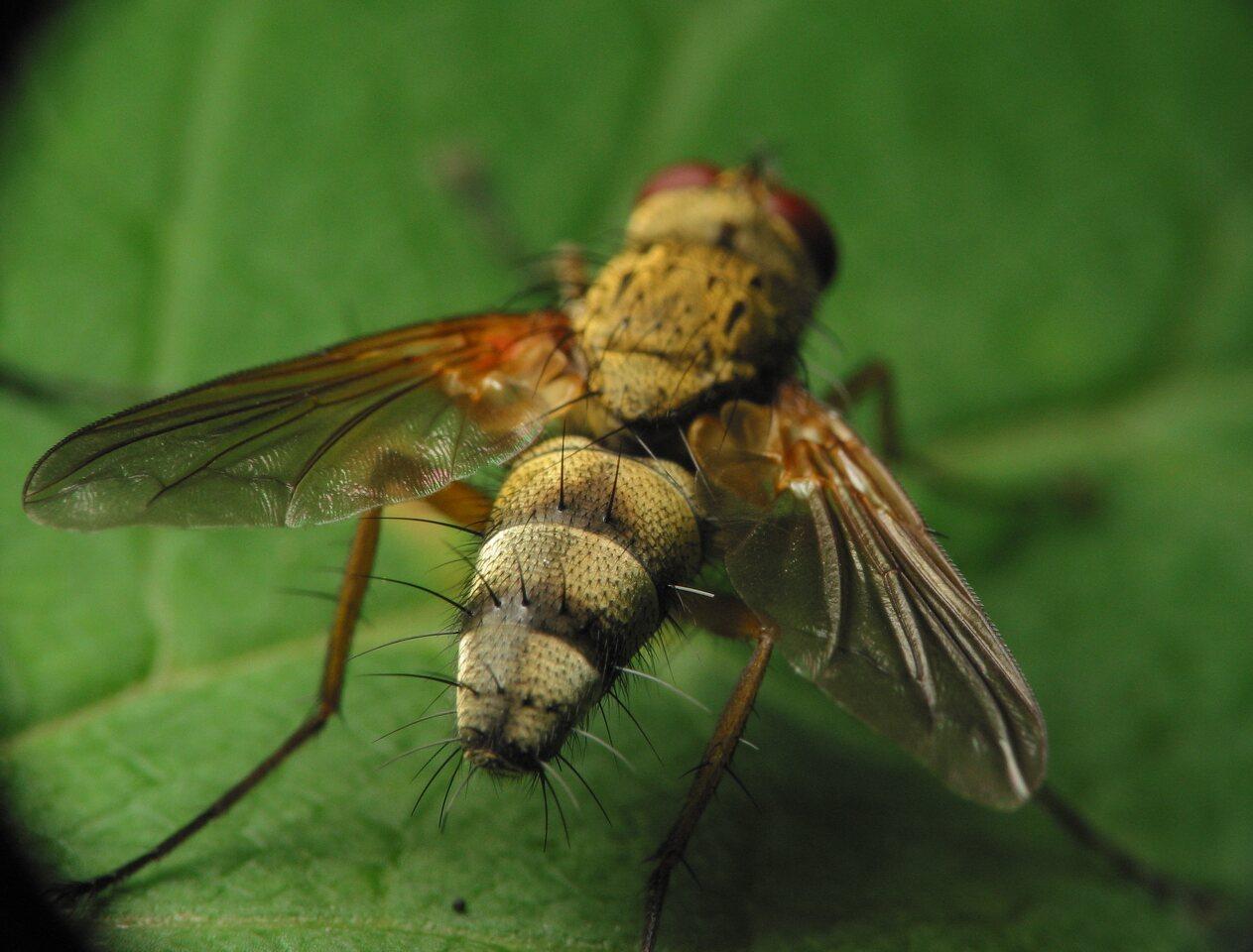 Diptera-3376.jpg