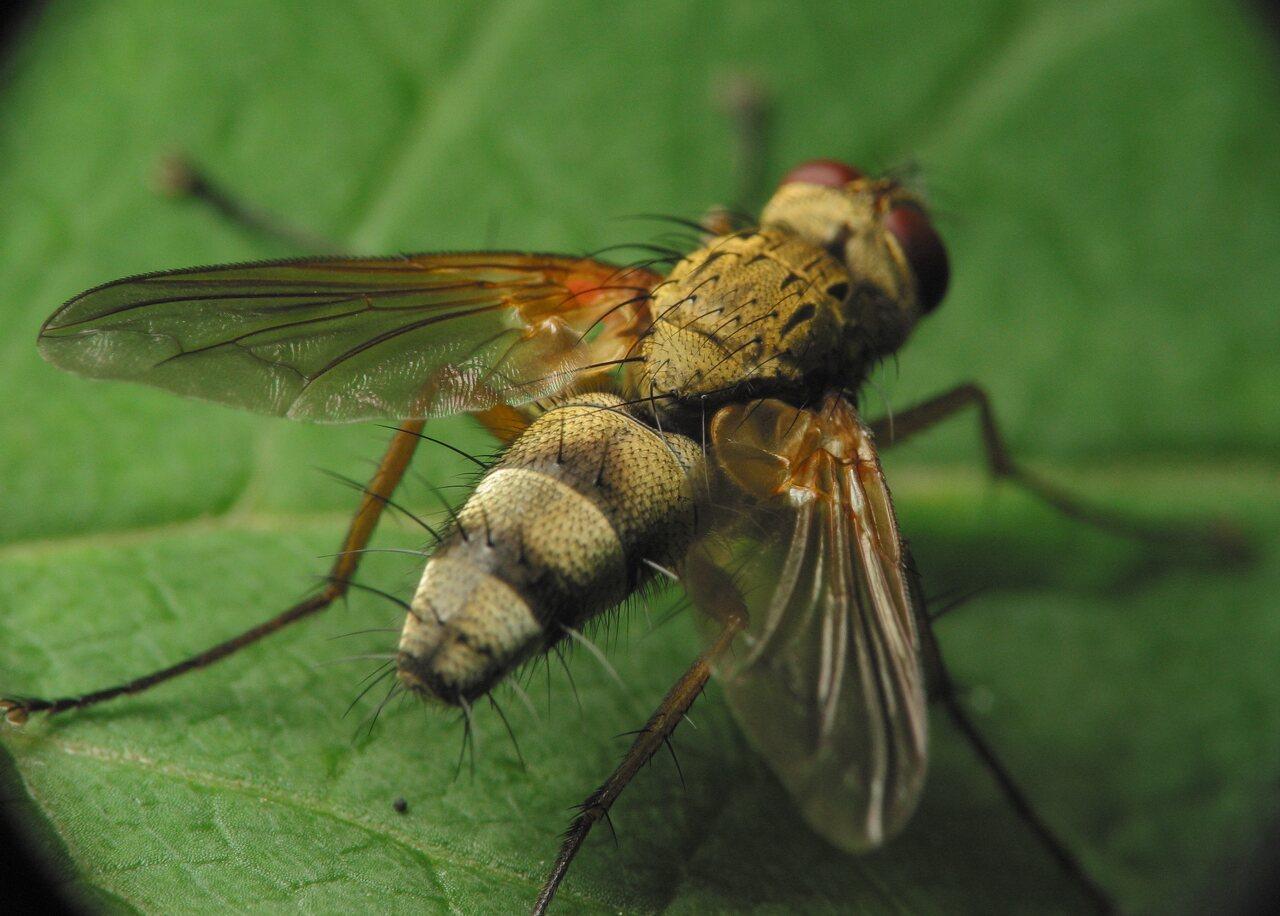 Diptera-3377.jpg