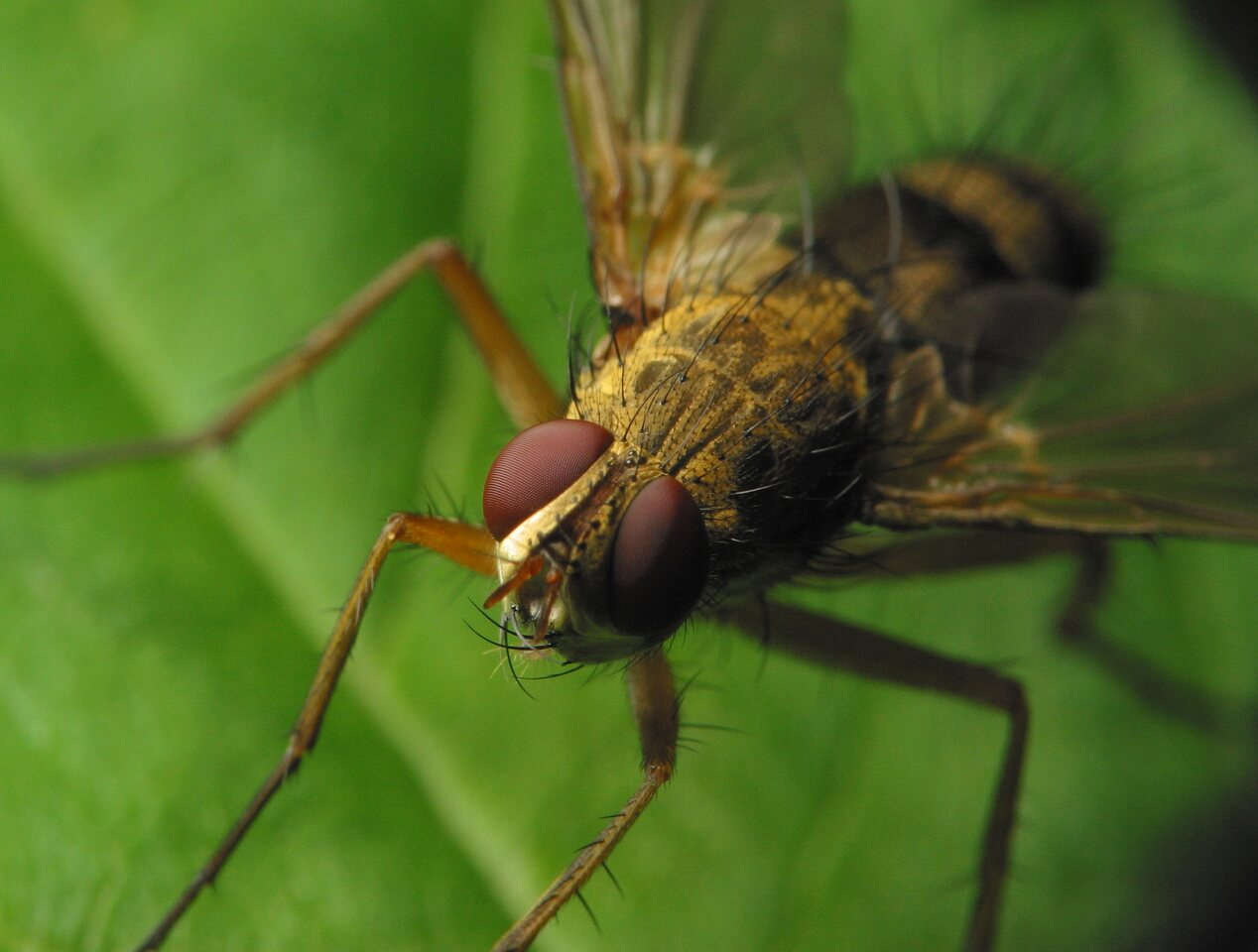Diptera-3379.jpg
