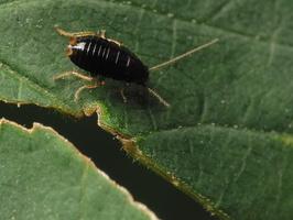 Ectobius sp. nymph · prūsokas, nimfa