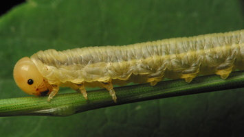 Hymenoptera larva · plėviasparnis, lerva 3400