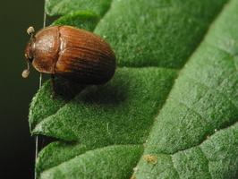 Pocadius ferrugineus · žvilgiavabalis