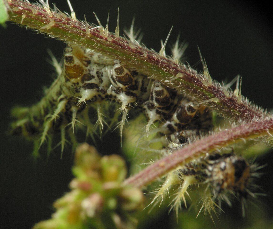 Lepidoptera-3434.jpg