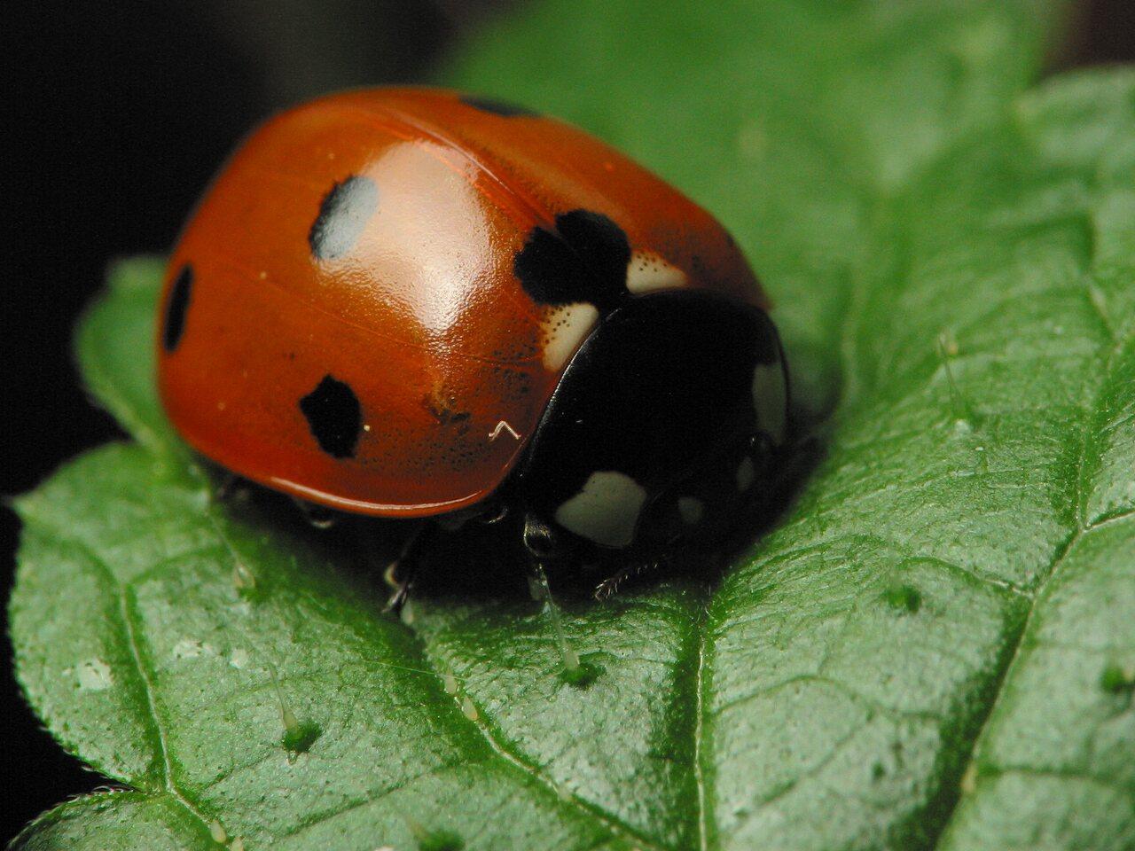 Coccinella-septempunctata-3438.jpg