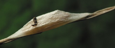 Zygaenidae · marguolis