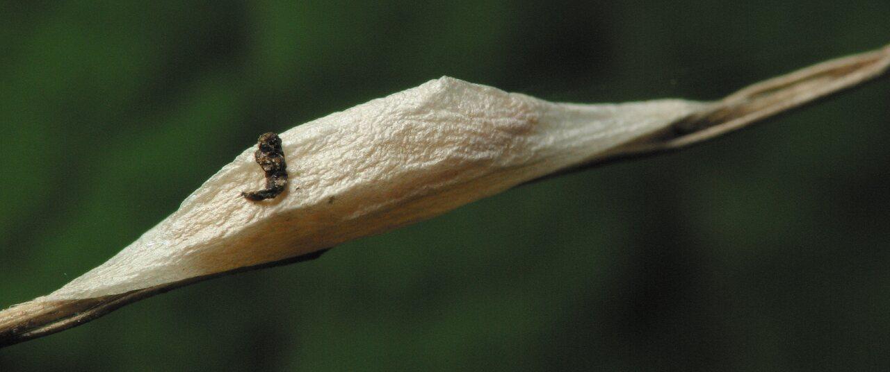Zygaenidae-3446.jpg