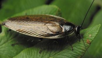 Ectobius lapponicus, male · laplandinis prūsokas ♂