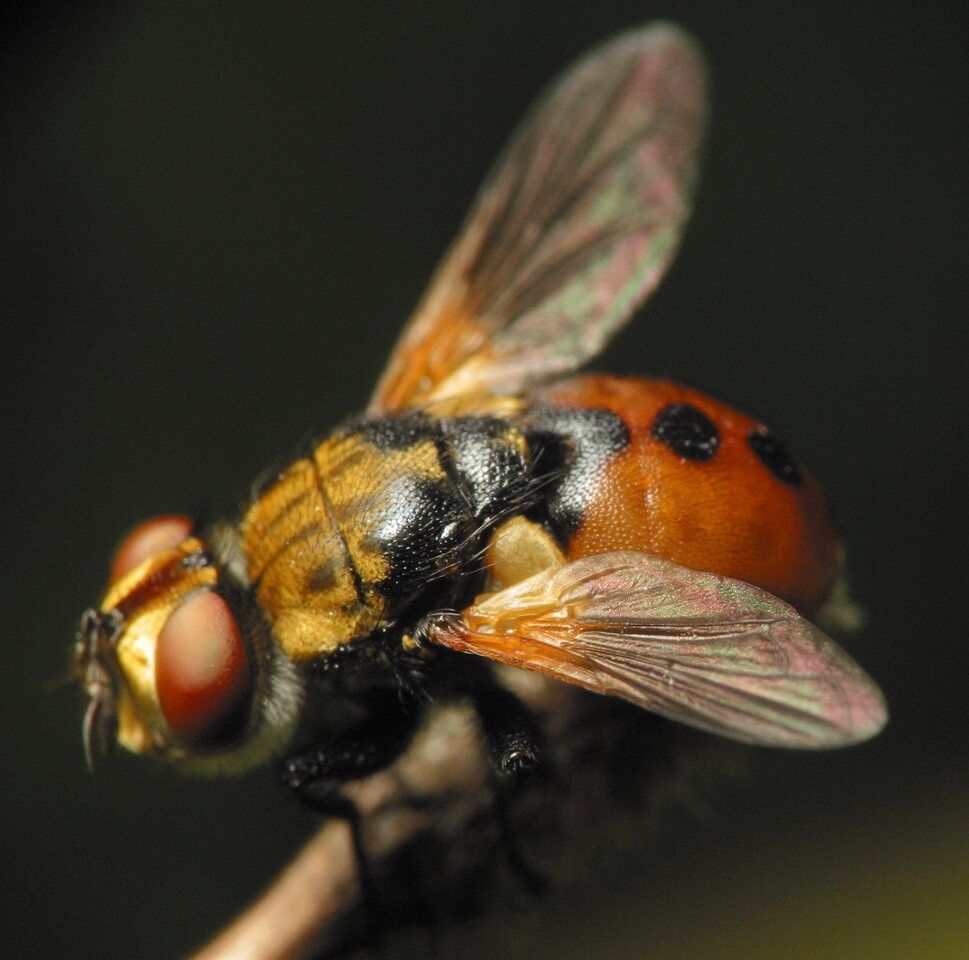 Gymnosoma-clavatum-3458.jpg