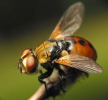 Tachinidae · dygliamusės