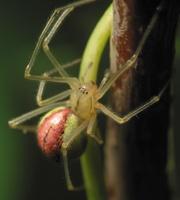 Enoplognatha ovata · paprastasis pinkliavoris