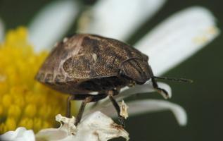 Eurygaster testudinaria nymph · lenktagalvė vėžiablakė, nimfa