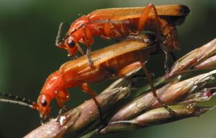 Rhagonycha fulva · skėtinis minkštavabalis