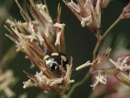 Coccinula quatuordecimpustulata · keturiolikataškė boružė