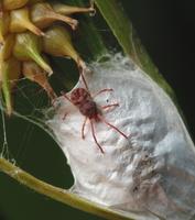 Erythraeidae sp. ? · erkė
