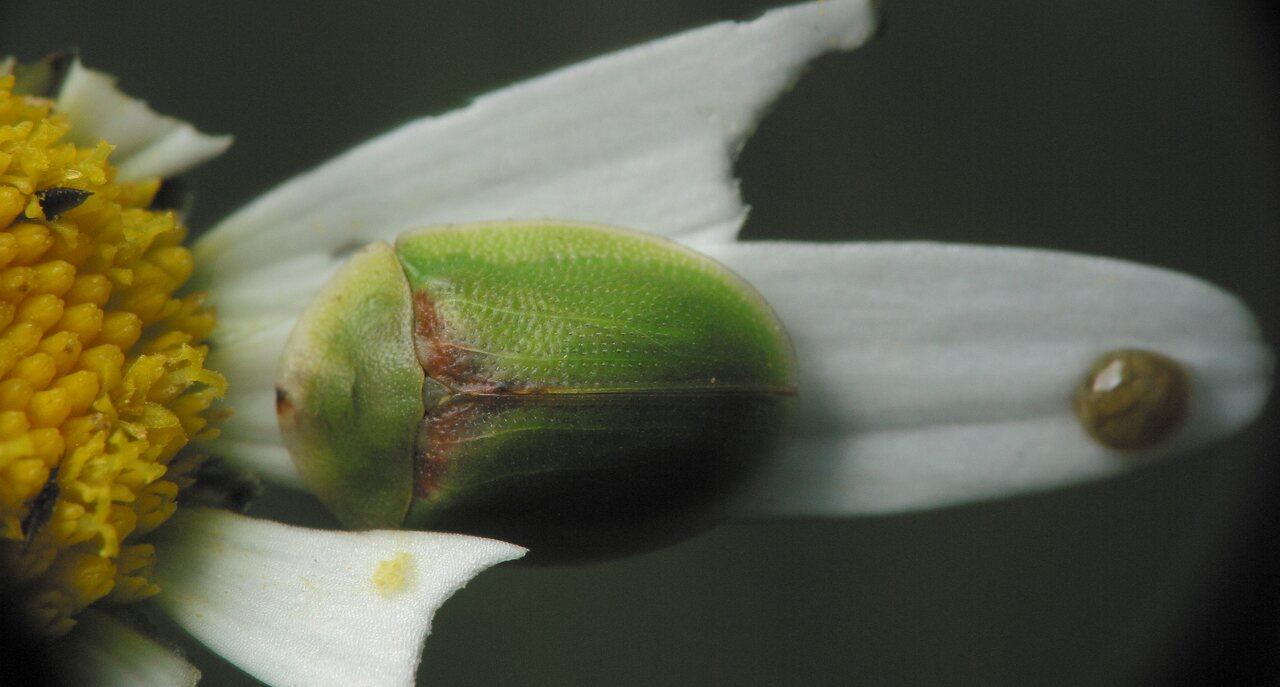 Cassida-denticollis-3521.jpg