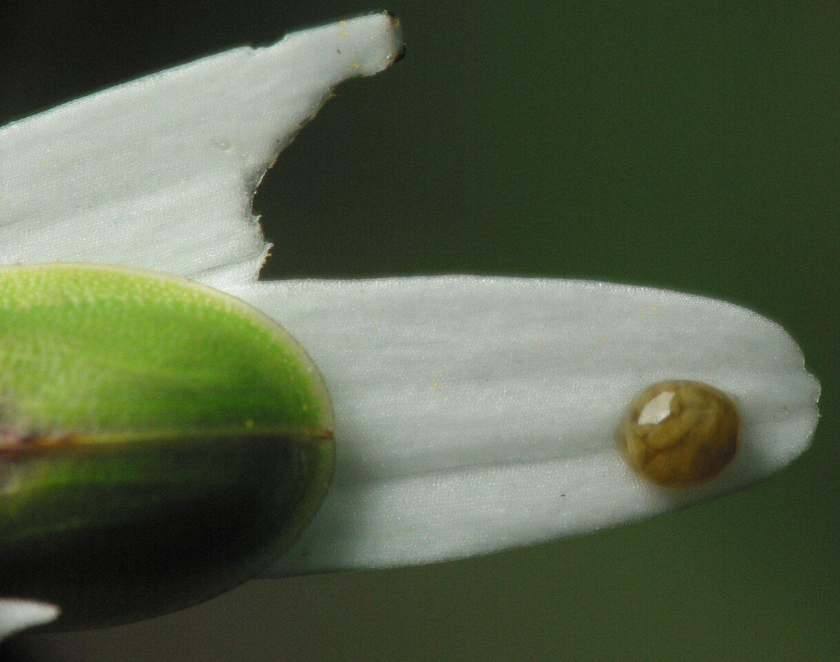 Cassida-denticollis-3522.jpg