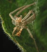 spider exuviae 3531