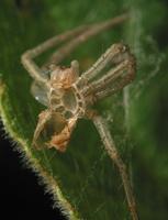 spider exuviae 3532
