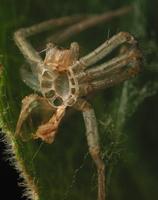 spider exuviae 3533