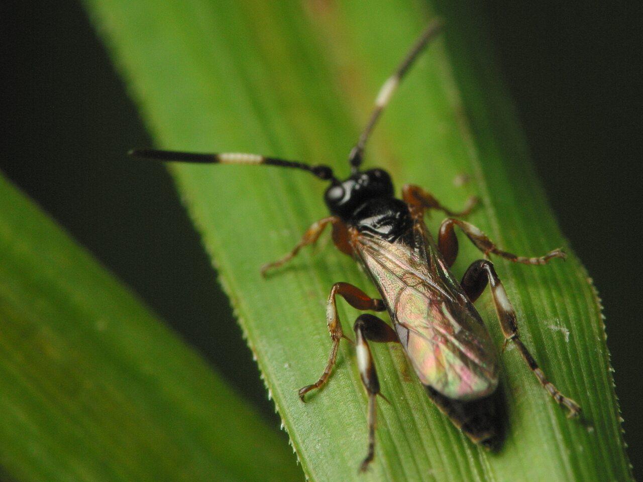 Hymenoptera-3536.jpg