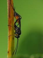 Hymenoptera 3543