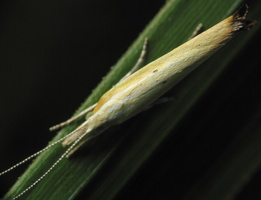 Ypsolophidae · šydinės kandys