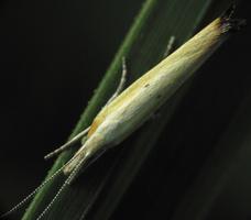 Ypsolopha nemorella · taškuotoji šydinė kandis