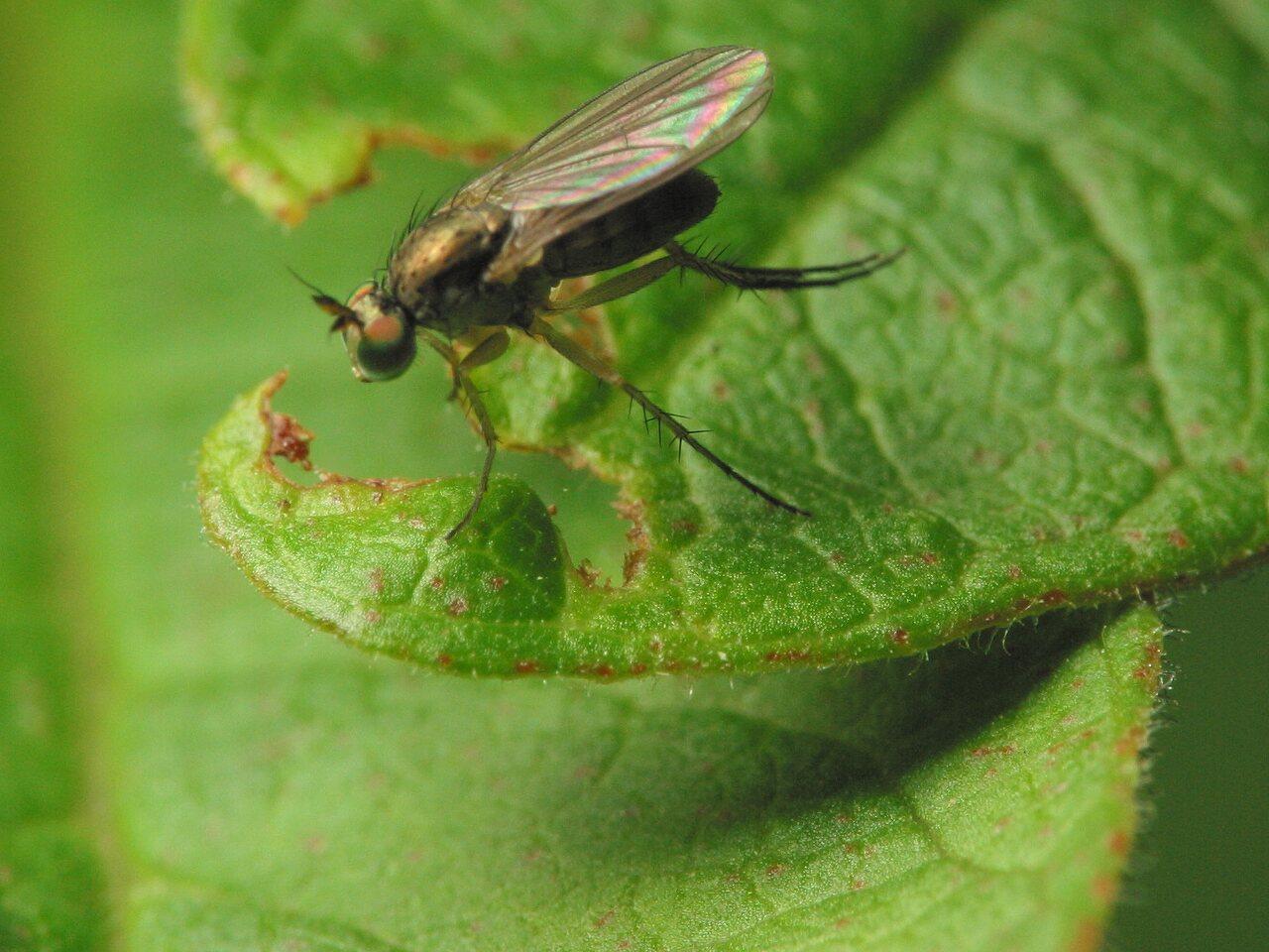 Diptera-3567.jpg