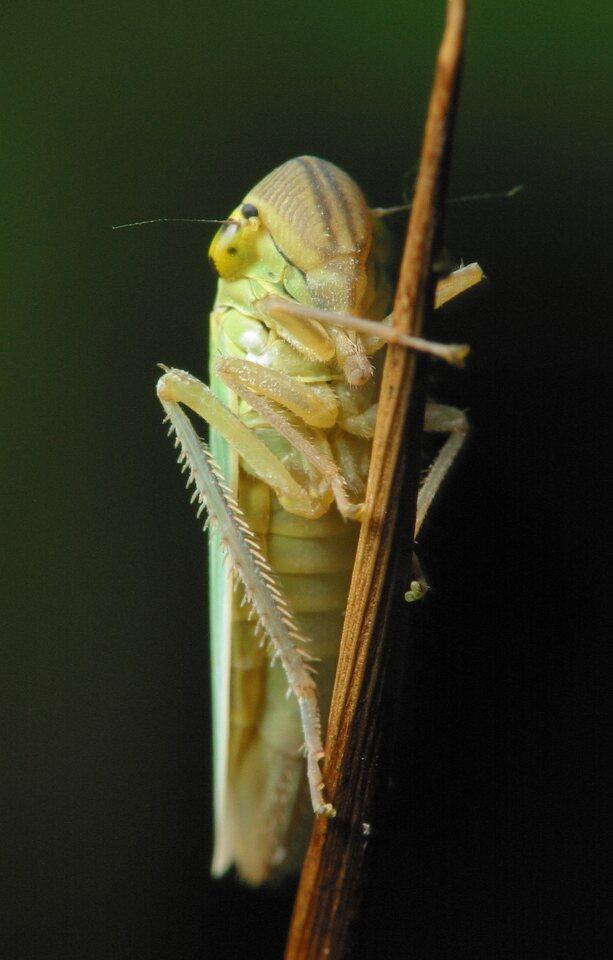 Cicadella-viridis-3568.jpg
