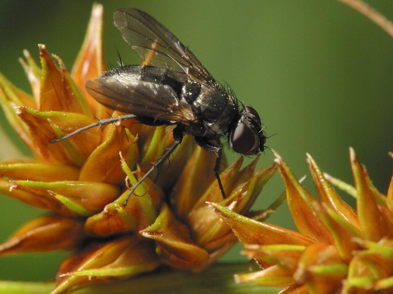 Diptera-3575.jpg
