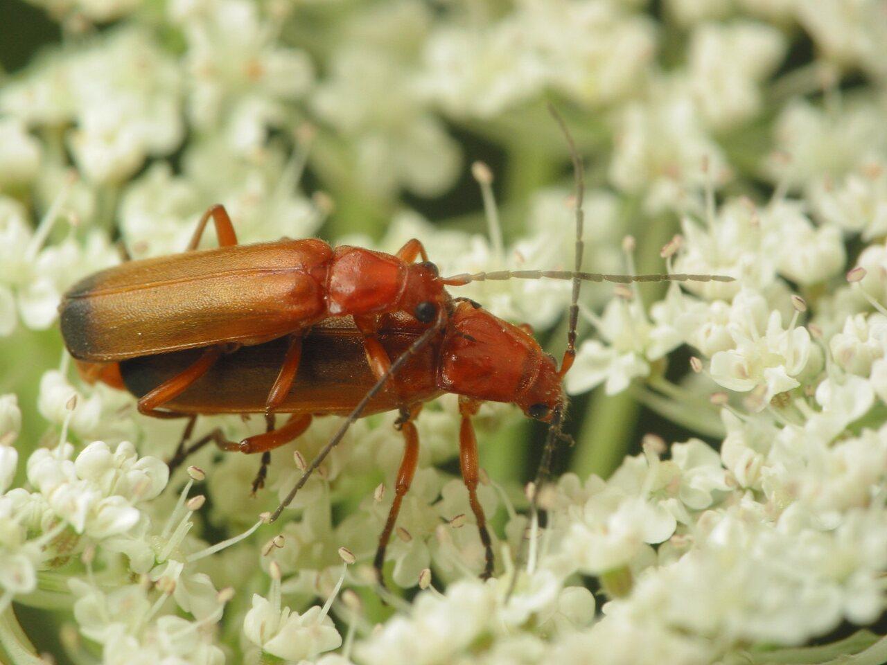 Rhagonycha-fulva-3616.jpg