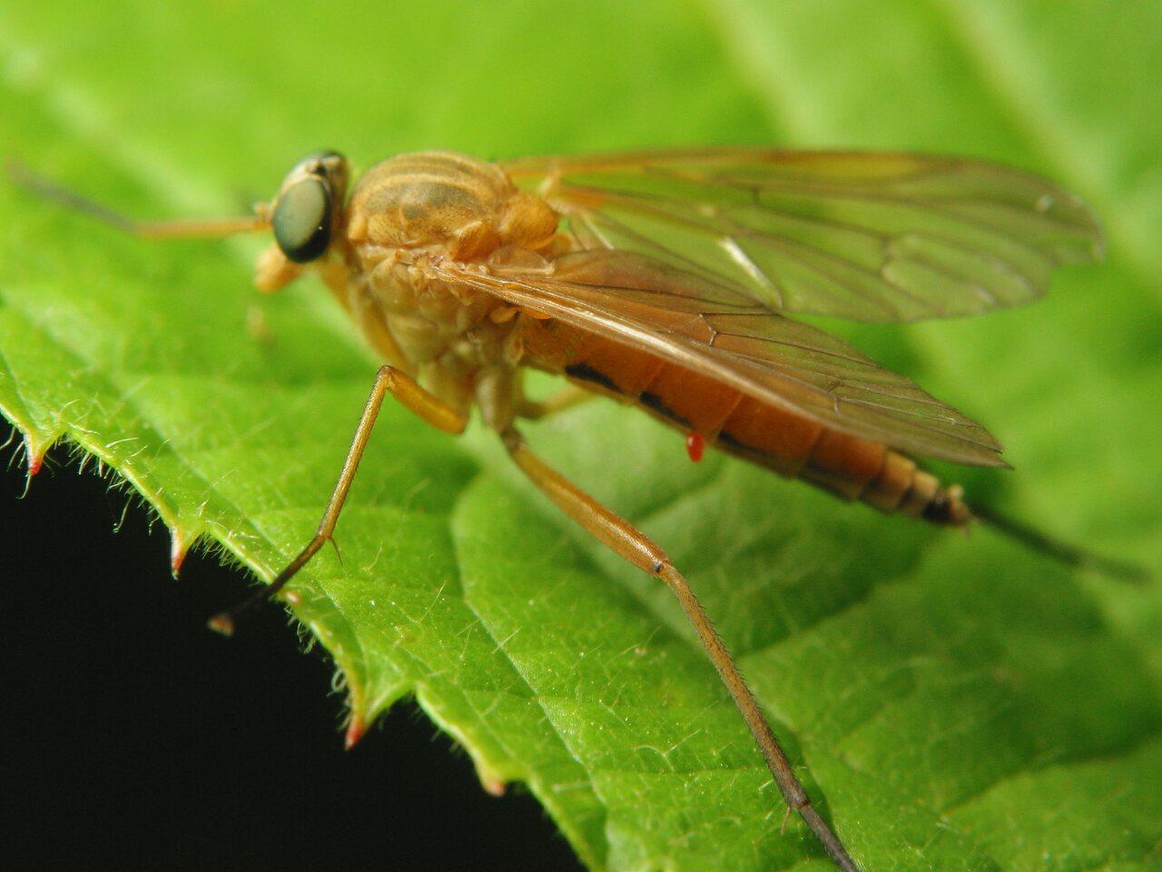 Rhagionidae-3621.jpg