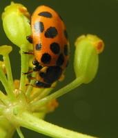 Hippodamia tredecimpunctata · trylikataškė boružė