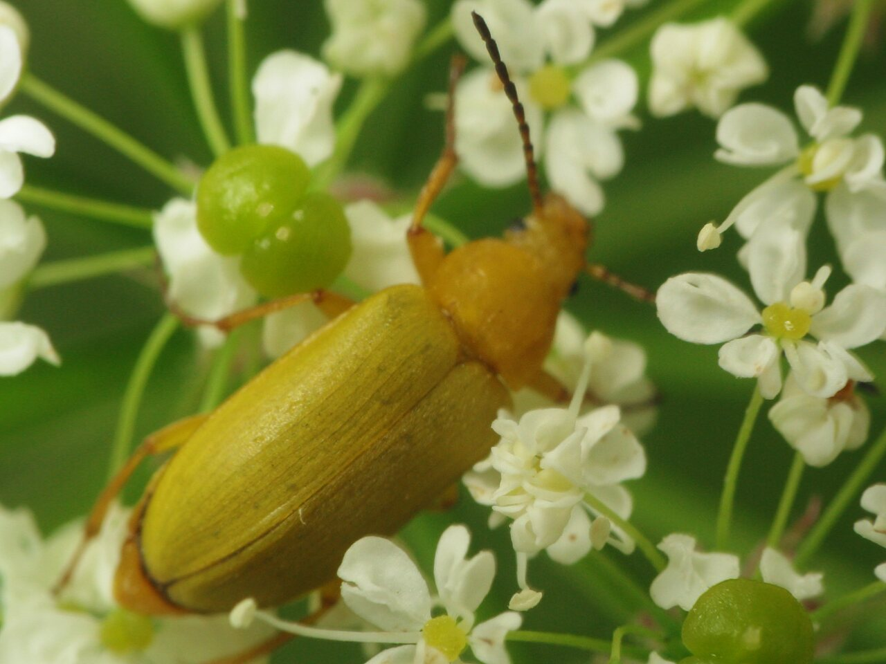 Cteniopus-flavus-3631.jpg