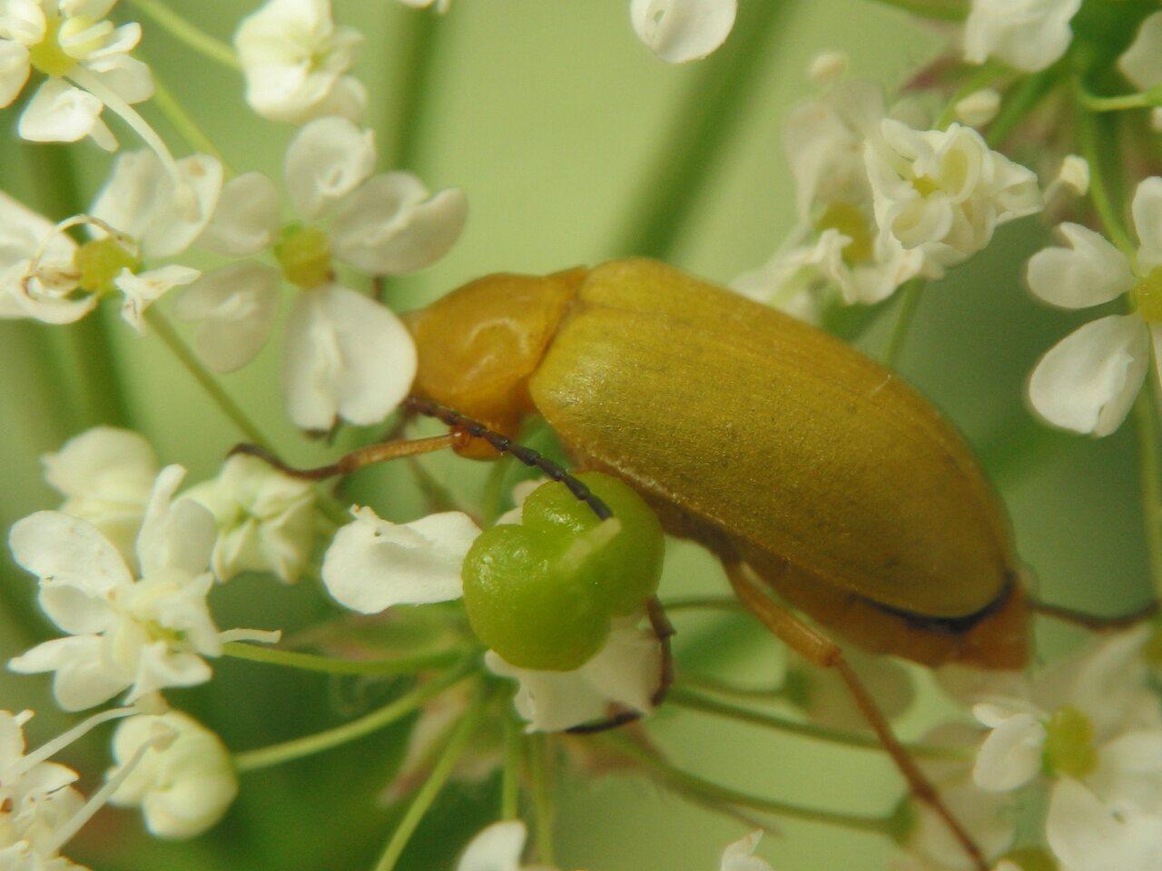 Cteniopus-flavus-3632.jpg