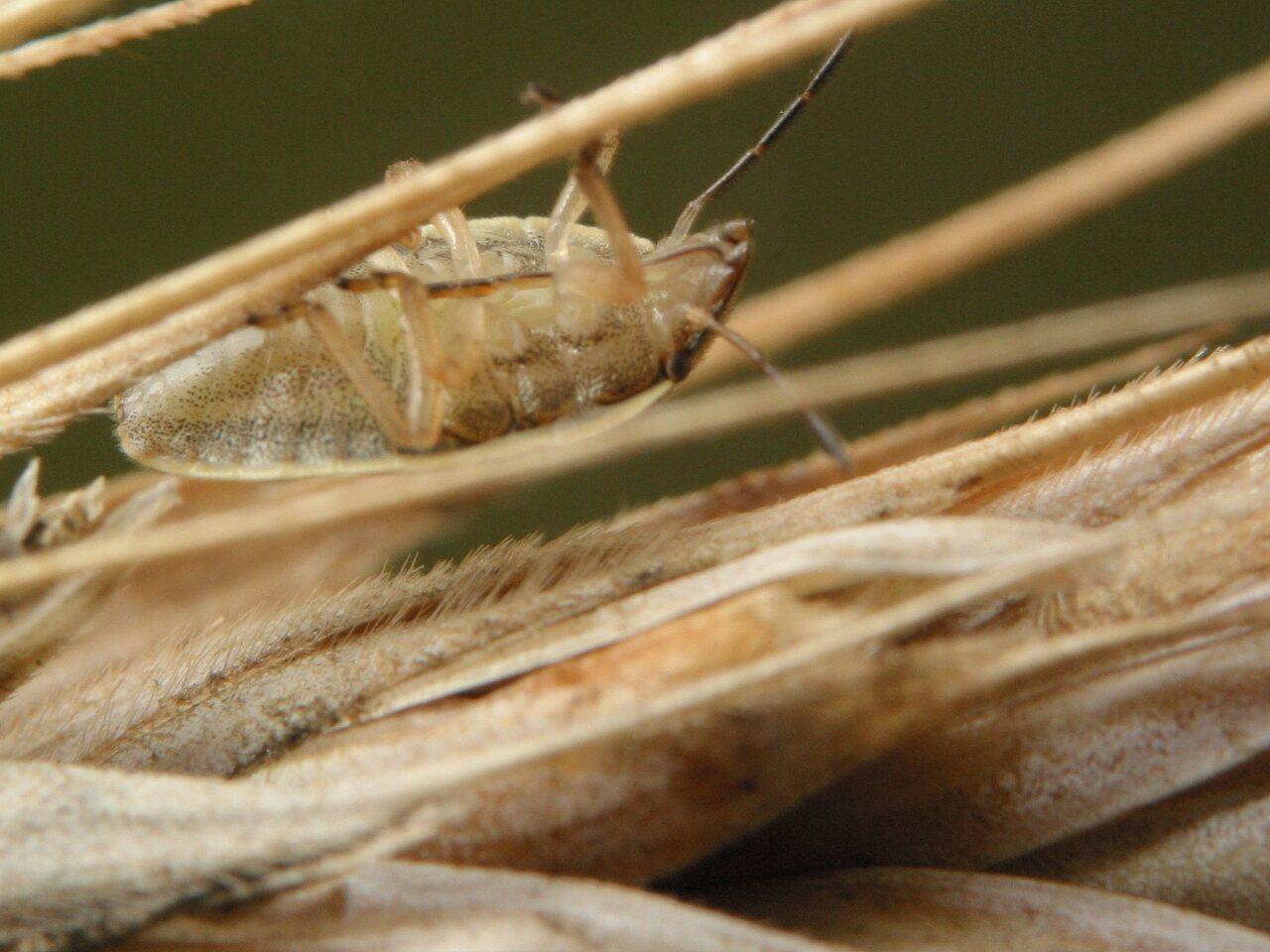 Aelia-acuminata-3642.jpg